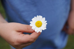 Daisy in hand. Stock Image