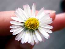 Daisy in hand Royalty Free Stock Photography