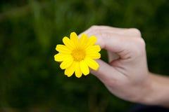 Daisy hand. Yellow daisy held in hand royalty free stock image