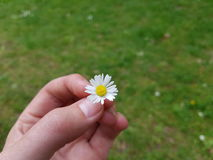 Daisy in hand. In garden royalty free stock images