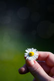 Daisy in the hand. On green background royalty free stock images