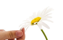 Daisy with a hand isolated Royalty Free Stock Photos