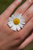 Daisy on hand. Small daisy on hand looking like a ring royalty free stock images
