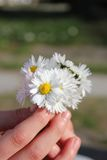 Daisy and hands Royalty Free Stock Photography