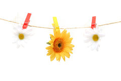 Daisy hanging on rope Stock Image