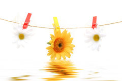 Daisy hanging on rope Royalty Free Stock Images