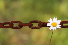 Daisy hangs on chain link. Daisy represents freedom or support while hanging on one of the chain links Royalty Free Stock Photo