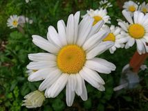 Daisy HD Στοκ Εικόνα