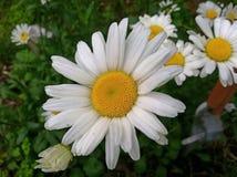 Daisy HD Stock Image