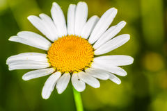 Daisy head with an organic natural green background Stock Image