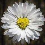 Daisy Heart Fotografie Stock Libere da Diritti