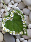 Daisy heart. Heart made of daisy flowers on heartshaped leaf stock photo