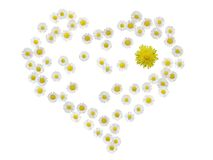 Daisy heart with dandelion isolated royalty free stock image