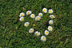Daisy heart shape Stock Photography