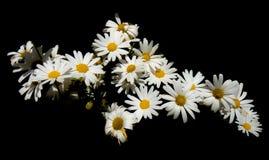 Daisy het boeket op zwarte achtergrond betekent liefde, schoonheid, en vruchtbaarheid royalty-vrije stock foto's