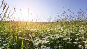 Daisy het gebied van de bloemweide tegen blauwe hemel stock videobeelden