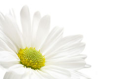 Daisy highkey. Macro over white, shallow depth of field Stock Image
