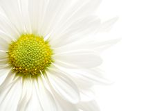 Daisy highkey. Daisy macro in highkey, isolated over white with shallow depth of field Royalty Free Stock Photo