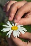 Daisy in his hand Stock Photo