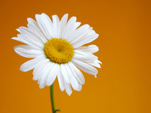 Daisy III Royalty Free Stock Photos