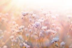 Daisy illuminated by sunlight Stock Image