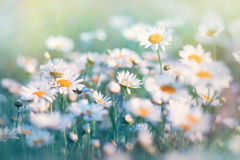 Daisy  illuminated with  sunlight Stock Photo