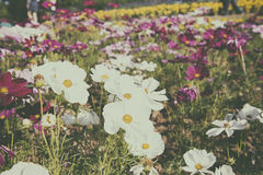 Free Daisy In A Garden Royalty Free Stock Image - 69846726