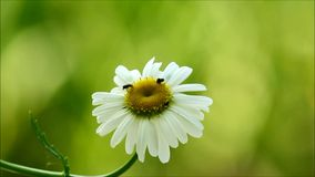 Daisy with insects Stock Photography