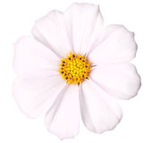 Daisy isolated. Pink daisy isolated on a pure white background Stock Images
