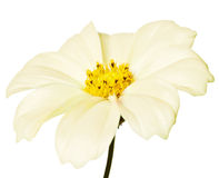 Daisy isolated. Pink daisy isolated on a pure white background Royalty Free Stock Images