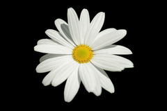 Daisy isolated. Royalty Free Stock Photography