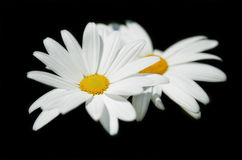 Daisy isolated. Stock Photo