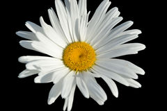 Daisy Isolated On Black Background blanche Image stock