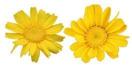 Daisy Isolated with Clipping Path Stock Photos