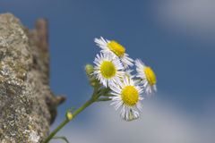 Daisy isolated on green Royalty Free Stock Photo