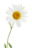 Daisy isolated Stock Images