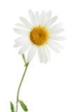Daisy isolated. One beautiful daisy isolated on white background Stock Images