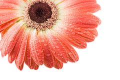 Red Gerbera Daisy with Water Drops. Daisy isolated red flower blooming petals water drops dew drops Stock Images