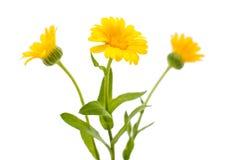 Daisy isolated Stock Image