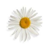 Daisy isoleerde op wit Stock Afbeelding