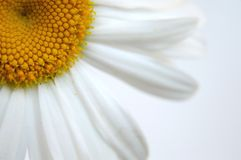 Daisy IV Royalty Free Stock Image