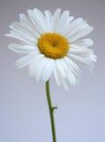 Daisy IV Stock Image