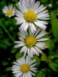 Daisy IV Royalty Free Stock Photography