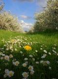 daisy jabłkowy mlecz drzewo Obrazy Stock