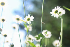 Daisy and jasmine bush in summer Royalty Free Stock Photography