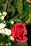 daisy kwiatów, czerwona róża Zdjęcie Stock