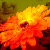 daisy kwiat Obrazy Royalty Free
