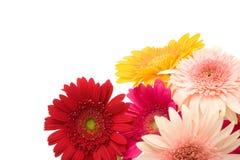 daisy kwiaty Fotografia Stock