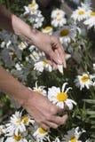 daisy kwiaty osoby zrywania Zdjęcie Royalty Free