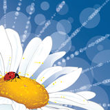 Daisy and ladybirds. Vector background with daisy and ladybird for corner design (EPS 10 Royalty Free Stock Image
